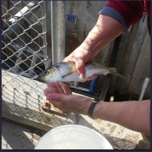 Fish Passageways Key to Solving Nutrient Issues in St. Croix Waterways
