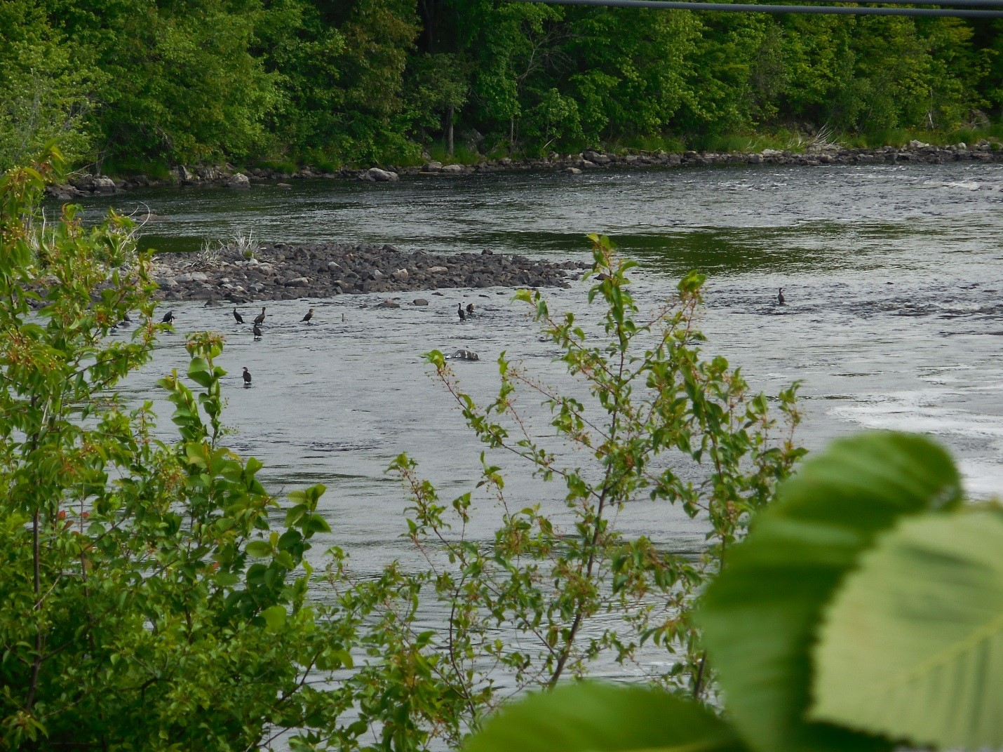 A group of birds wait for alewives to begin migrating up the St. Croix River to eat. Credit: Shannon E. Runyon