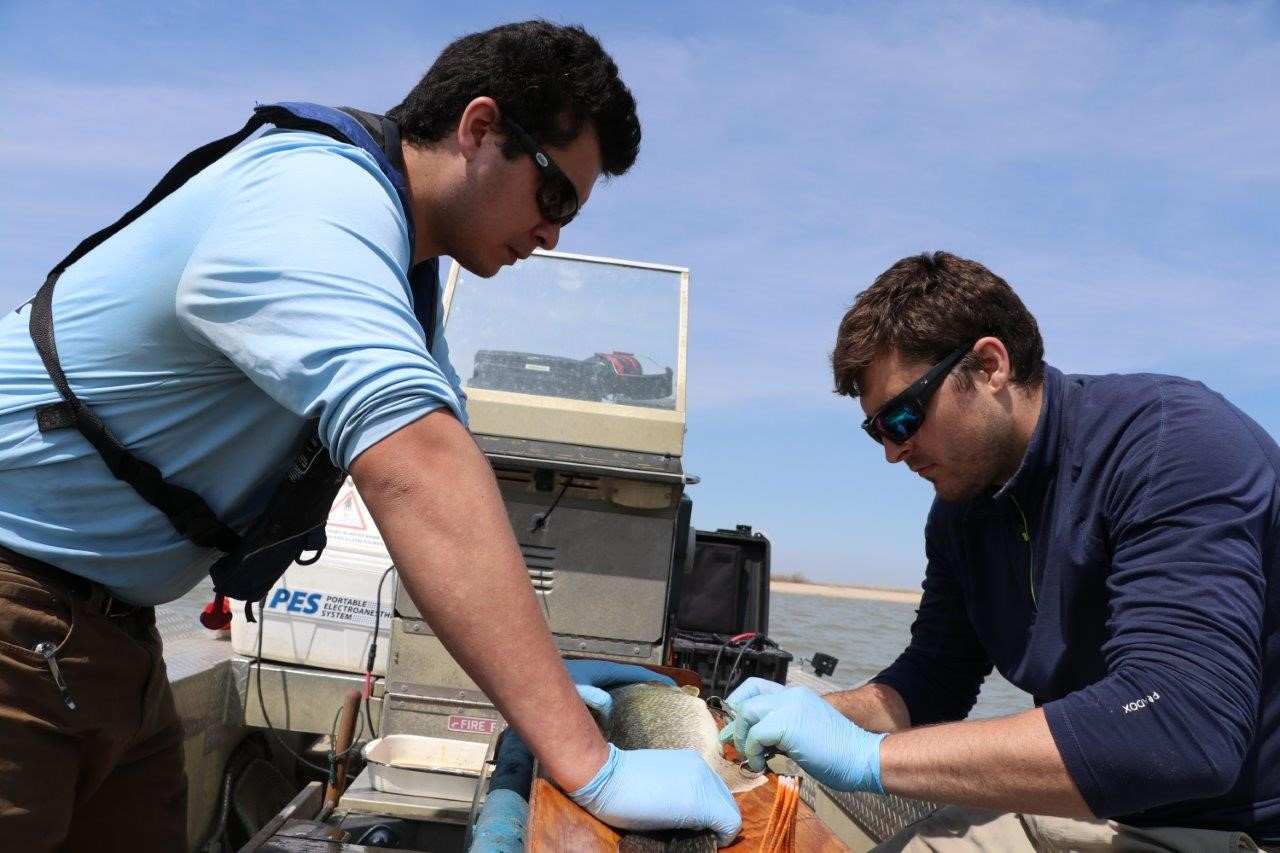 Henry Hansen de l'Université du Nebraska et Colin Charles de Pêches et Océans Canada introduisent un petit émetteur à l'intérieur d'un poisson. Photo : Doug Watkinson/MPO