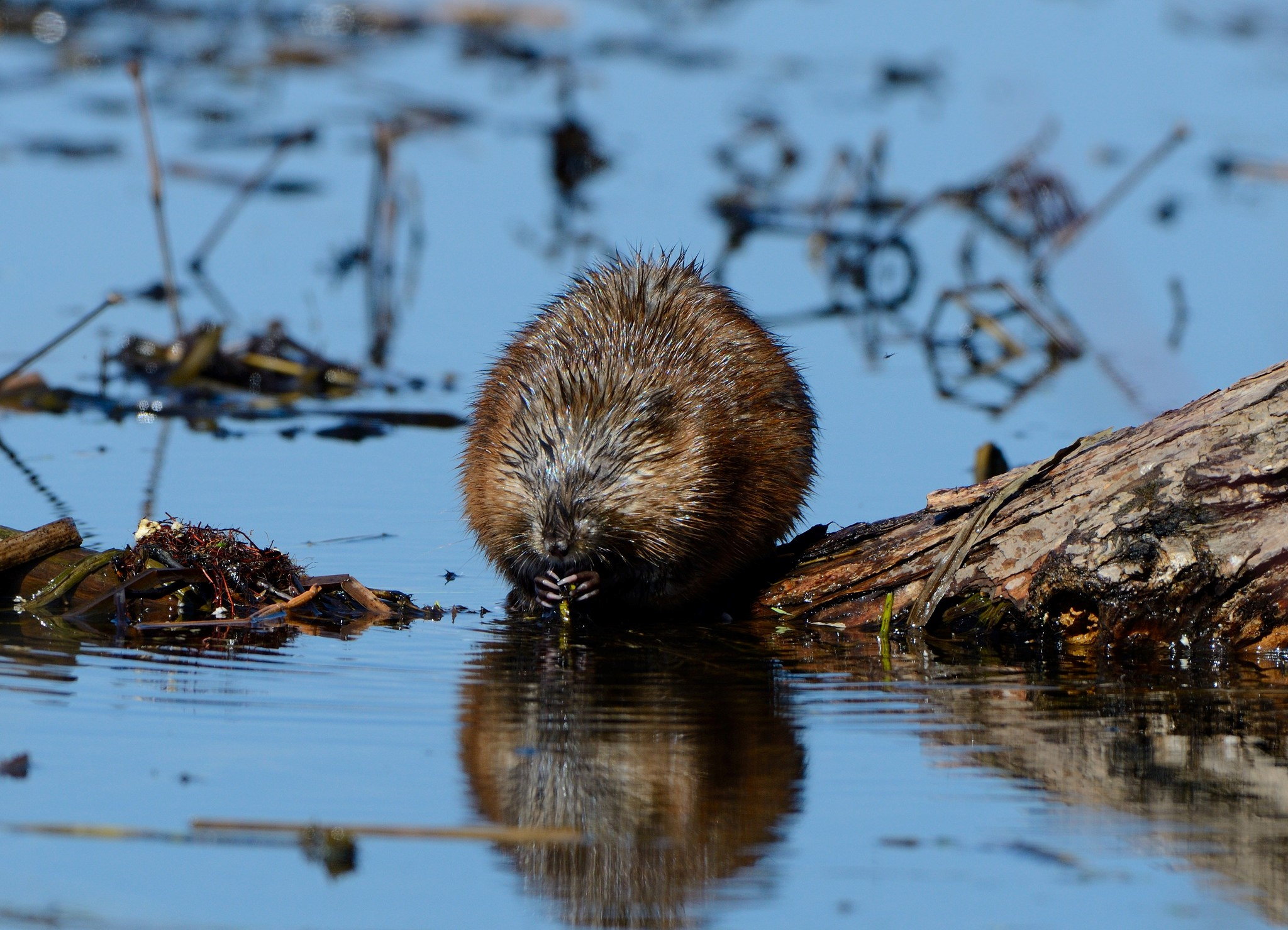 A muskrat happily eats a plant snack. Credit: Dave Inman