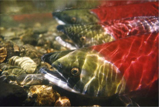 Saumon rouge. Source : NOAA