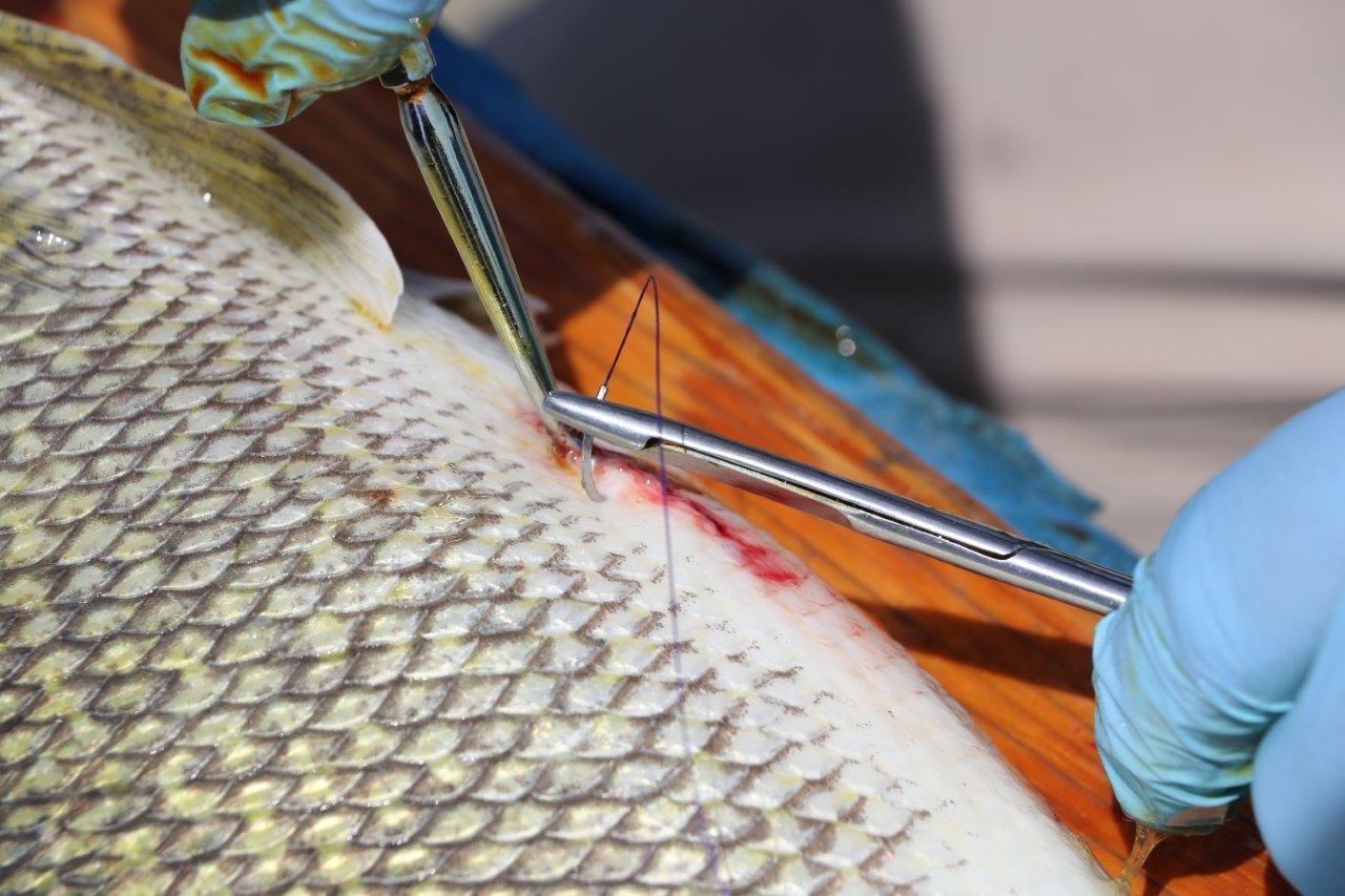 L'émetteur inséré par intervention chirurgicale dans les poissons est minuscule et émet un signal sonore toutes les unes à trois minutes, lequel est capté par les récepteurs à proximité. Photo : Doug Watkinson/MPO