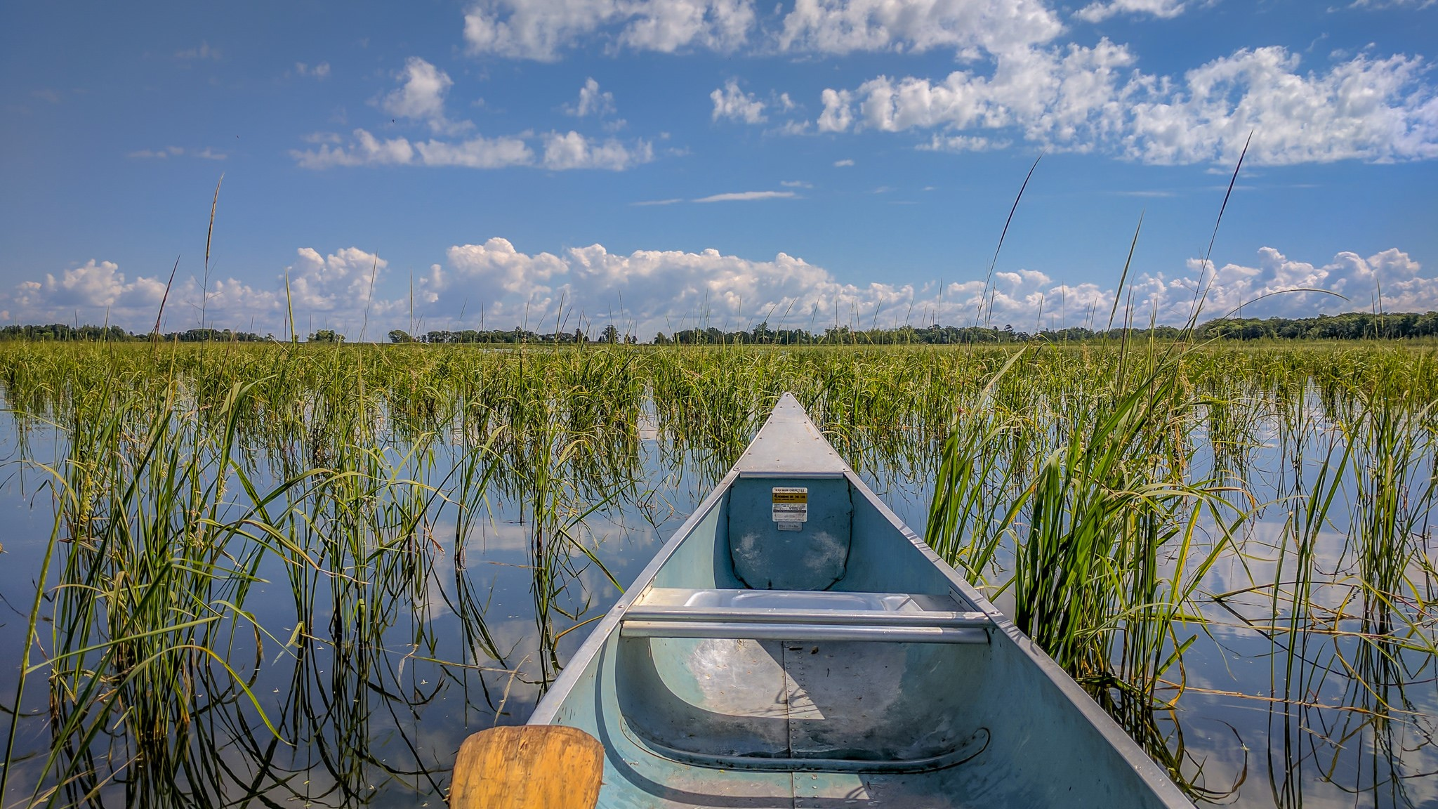 A bed of wild rice in Kathio State Park in Minnesota, grows in the water. Credit: Brett Whaley