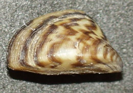 La présence de moules zébrées a été confirmée dans plusieurs plans d'eau des cours supérieurs du bassin de la rivière à la Pluie et du lac des Bois. Crédit : Wikipedia