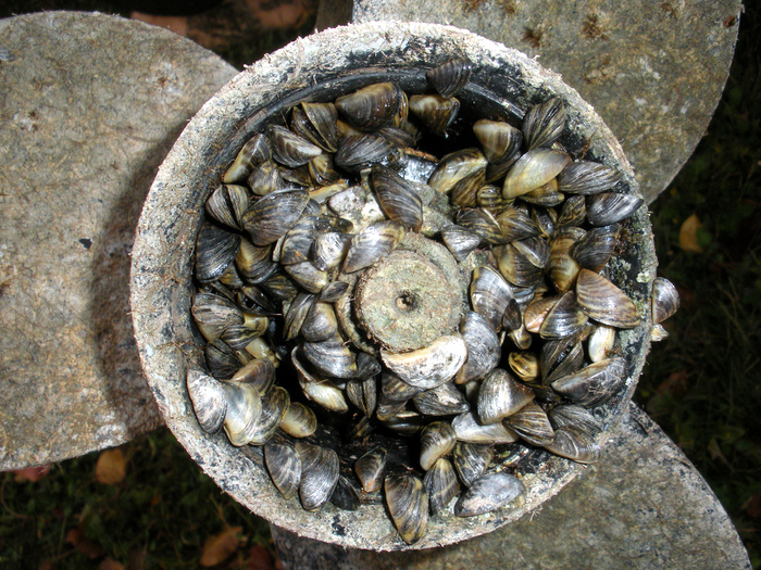 A Prop Covered With Zebra Mussels Credit Townepost Network